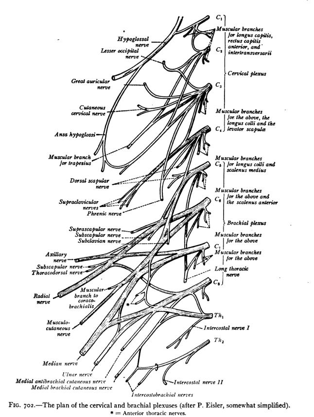 Neck Nerves